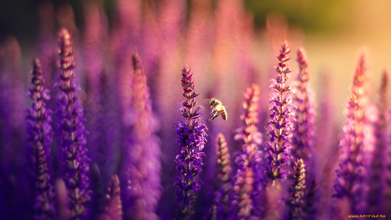 Поле фиолетовых цветов фото